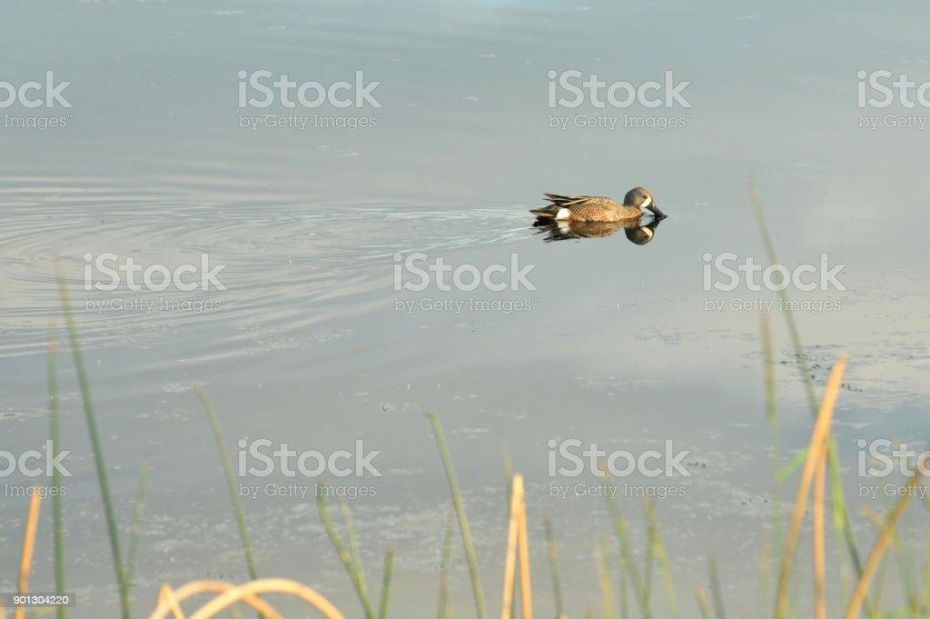 Blue-winged teal (Anas discors) feeding on a Montana pond. stock photo