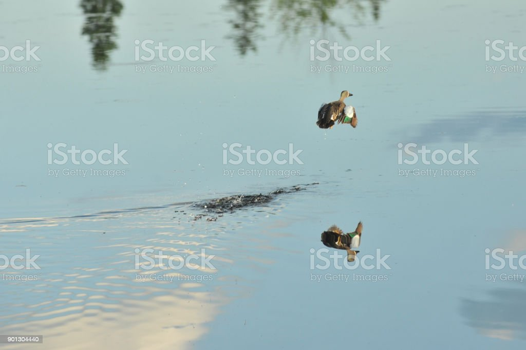 Blue-winged teal feeding on a Montana pond. stock photo