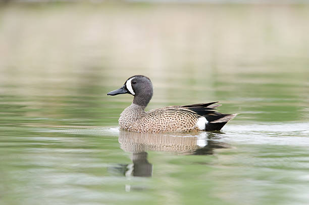 Blue-winged Teal – Foto