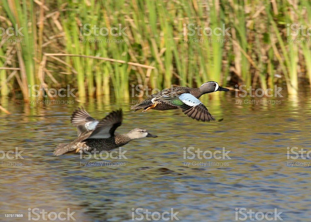 Blue-winged Teals in flight stock photo