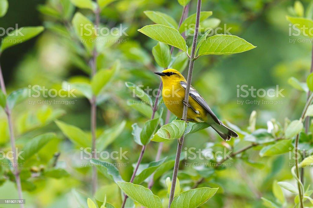 Blue-winged Warbler (Vermivora pinus) stock photo