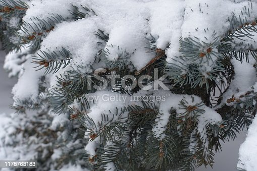 Bluish grey foliage of spruce covered with snow in winter