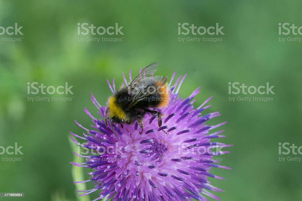 Blumbee on thistle stock photo