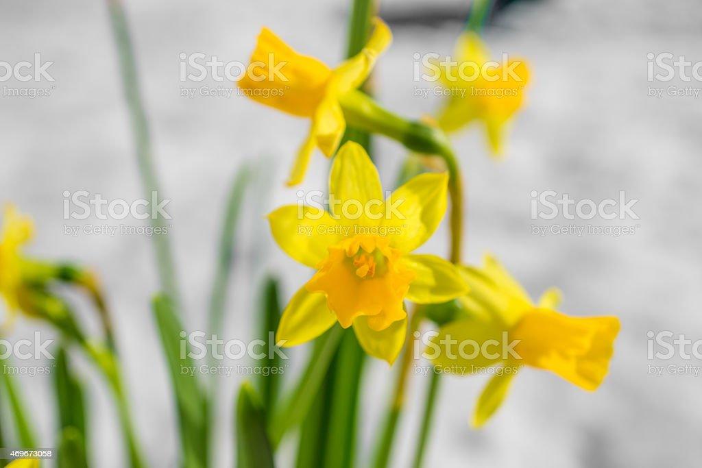 Blume vor Schnee stock photo
