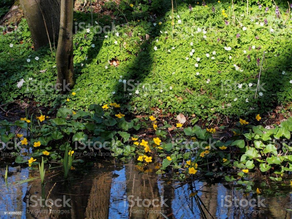 Blumenteppisch aus Sumpfdotterblume und Buschwindröschen am Waldsee stock photo