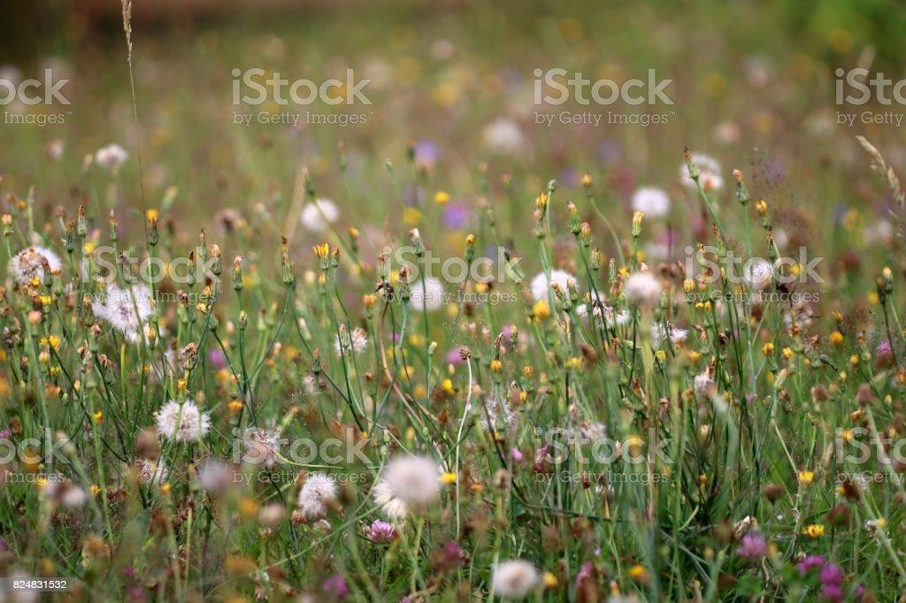 Blumenwiese stock photo