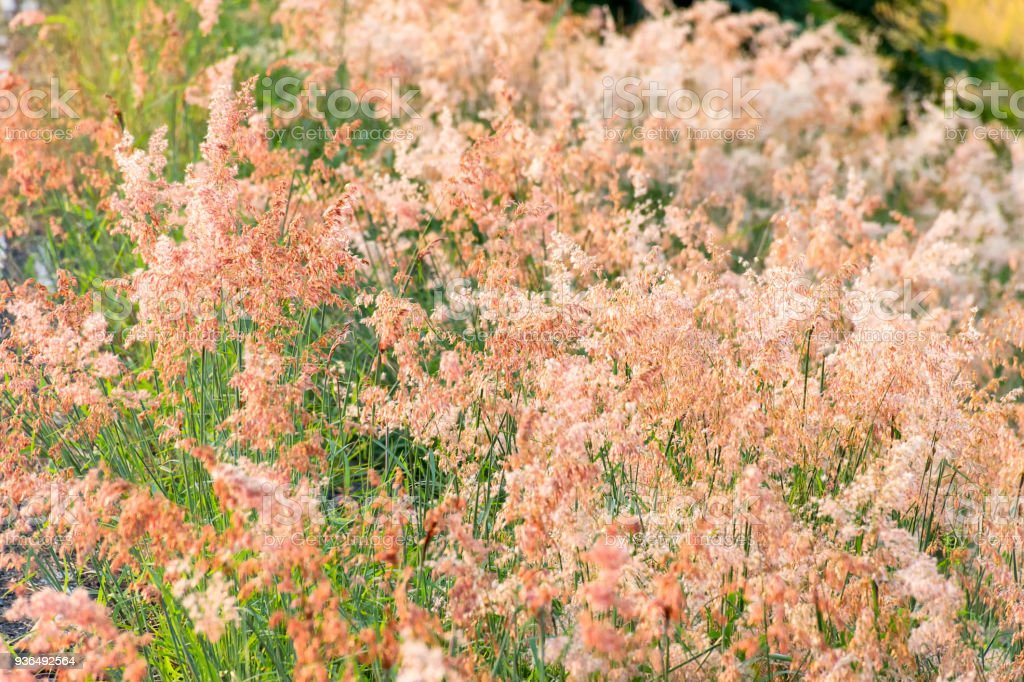 blur and soft the pink flower grass with sunlight. stock photo