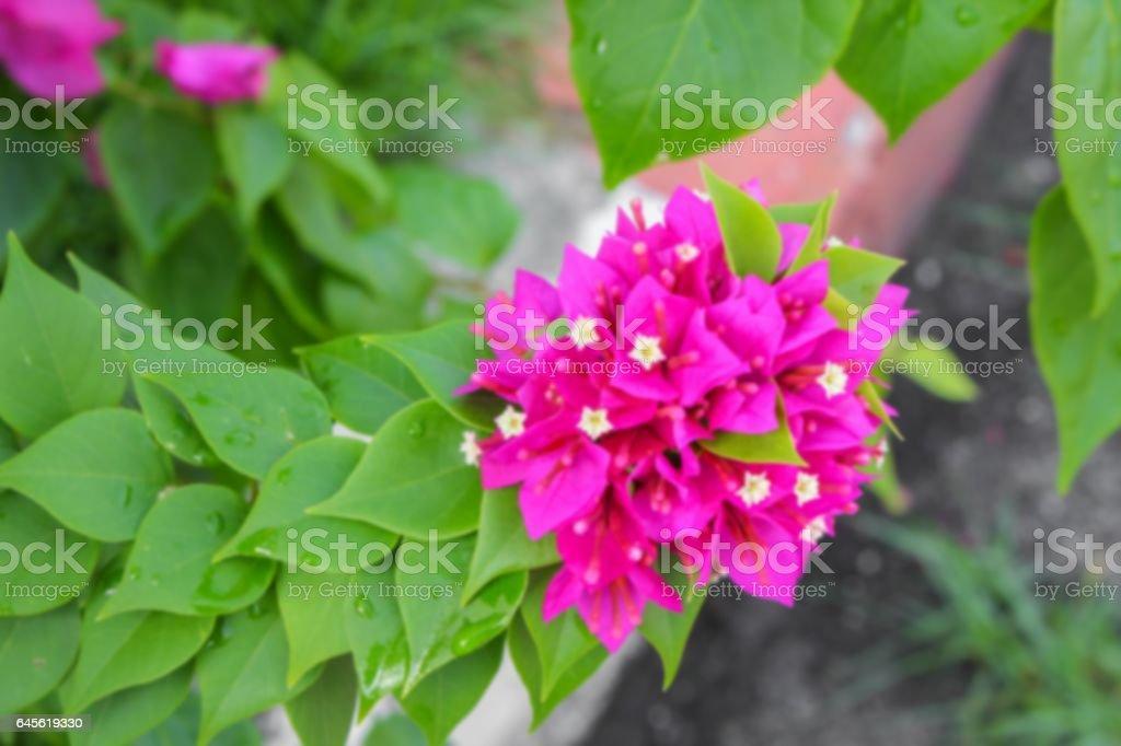 Blur  Bougainvillea, flower Paper  purple beautiful for background stock photo