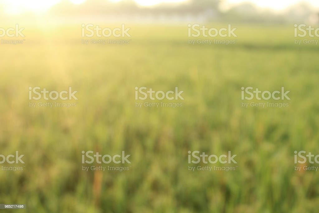 Blur Field Rice Background royalty-free stock photo
