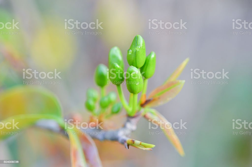 Blur image of ochna integerrima flowers stock photo