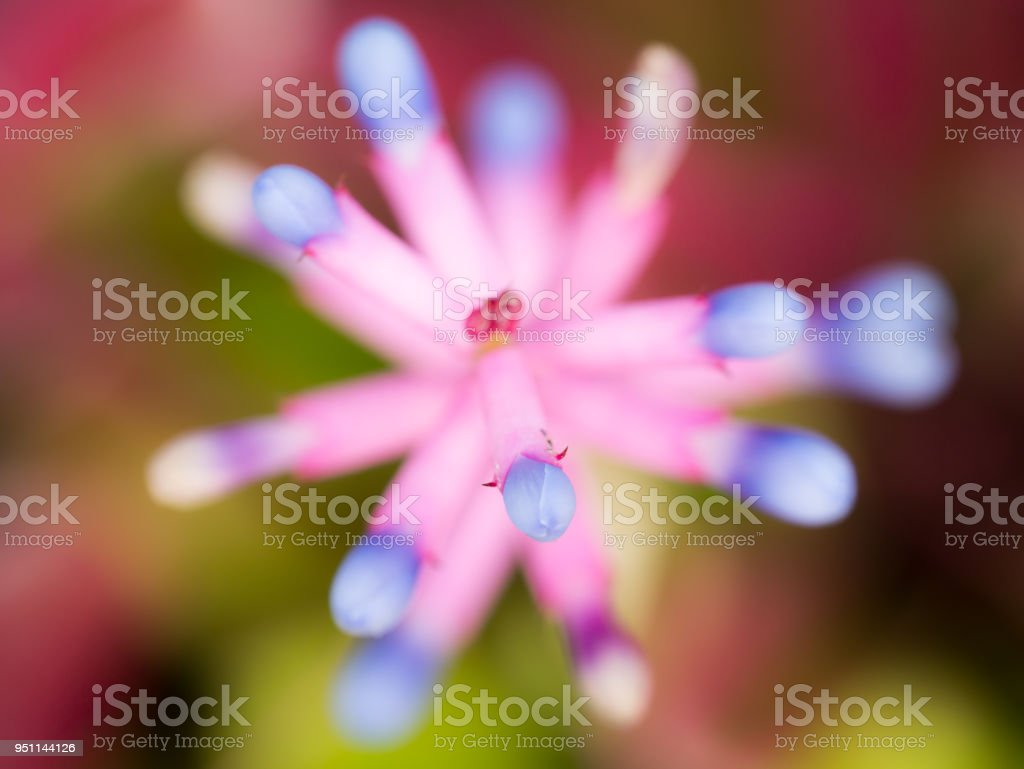 Blur Of Pink Purple Bromeliad Flower Stock Photo More Pictures Of