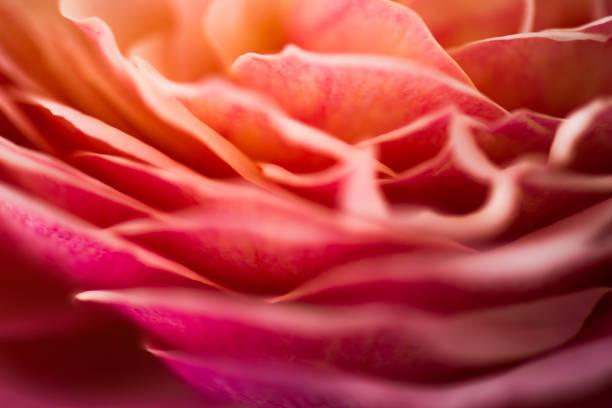 Blur pastel rose background picture id1017201010?b=1&k=6&m=1017201010&s=612x612&w=0&h= bvan8xgxsjhbtd1xocfx kzhg1ivucmxyajokqy5bm=