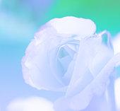 blur pink rose
