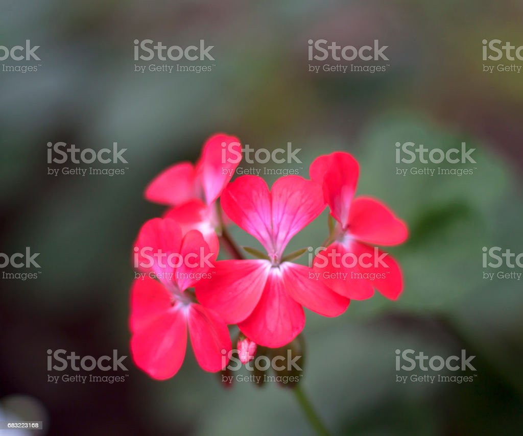 Blur red flowers royalty-free stock photo