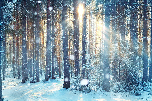 blurred background forest snow winter - naaldbos stockfoto's en -beelden