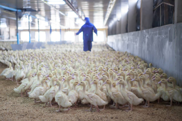 blurred background of ducks in the farm is clean and hygienic. blurred background of ducks in the farm is clean and hygienic. animal stage stock pictures, royalty-free photos & images
