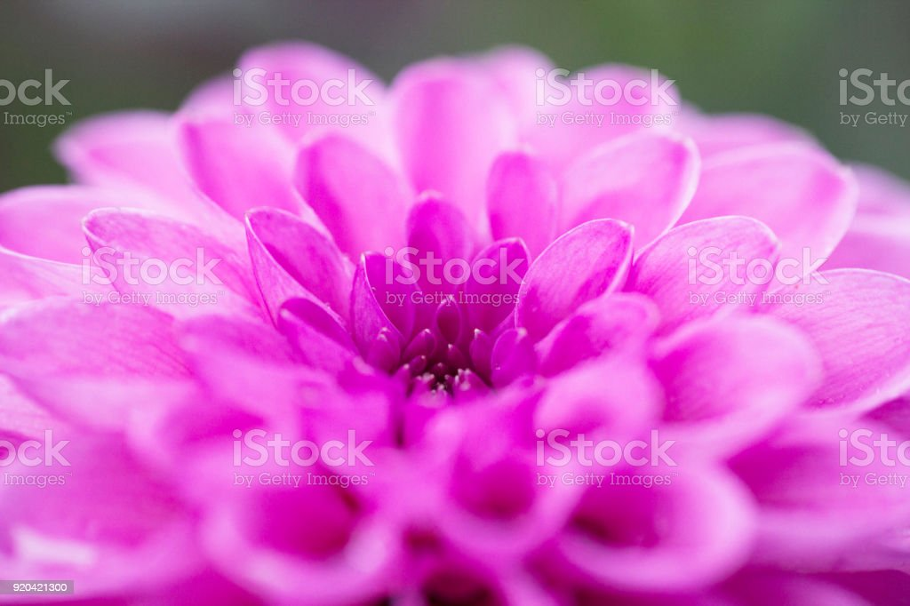 Blurred background Pink flower Dahlia, pastel colors stock photo
