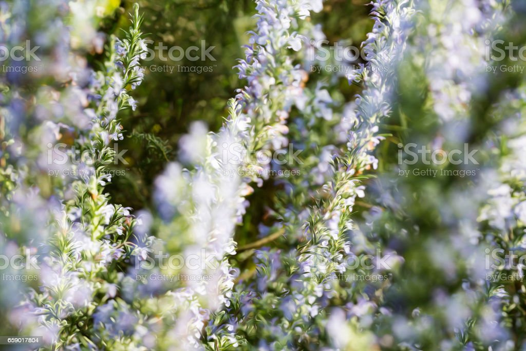 blurred background with blue flowers in spring royalty-free stock photo