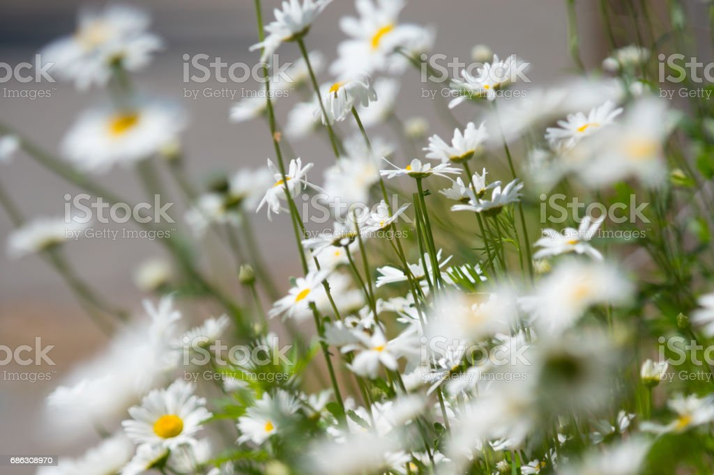 blurred camomile spring flowers stock photo