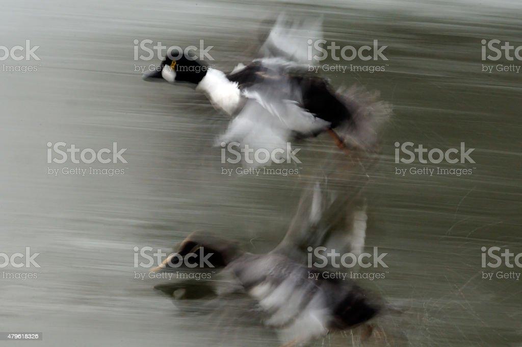 Blurred Flight of Goldeneyes couple stock photo