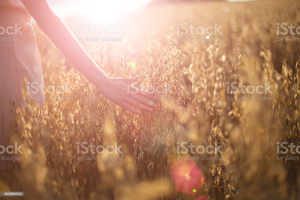 Blurred hand touching wheat spikes at sunset