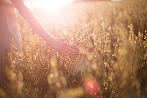 blurred hand touching wheat spikes at sunset - vintage nature stock photos and pictures