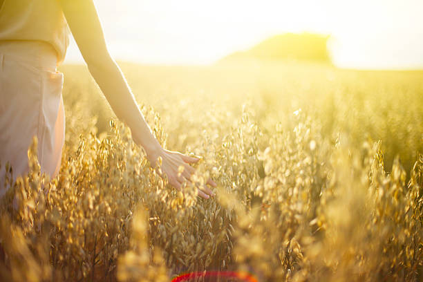 Blurred hand touching wheat spikes at sunset stock photo