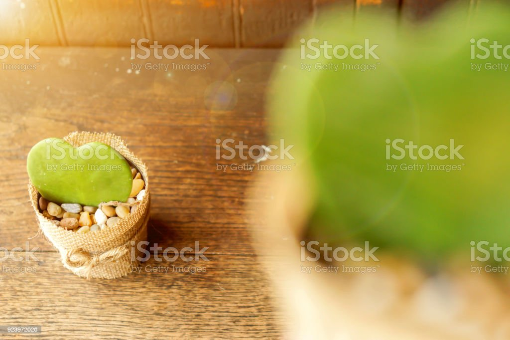 Blurred HOYA CACTUS in sackcloth flower pot stock photo