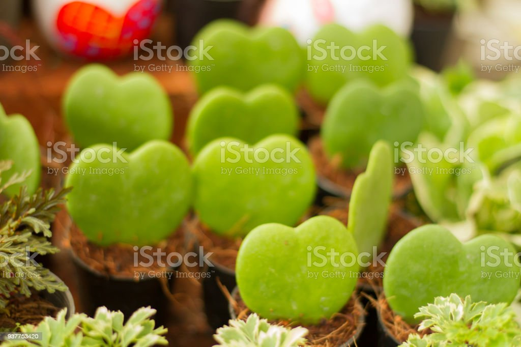 Blurred image of the many  Hoya Kerrii heart green. closed up for Background stock photo