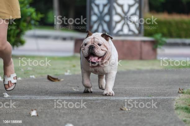 Blurred motion of english bulldog and woman running together on the picture id1064188998?b=1&k=6&m=1064188998&s=612x612&h= uvszwgkwwpkfp3cjkhww7qjyn7dzccx7ioz523 8kq=