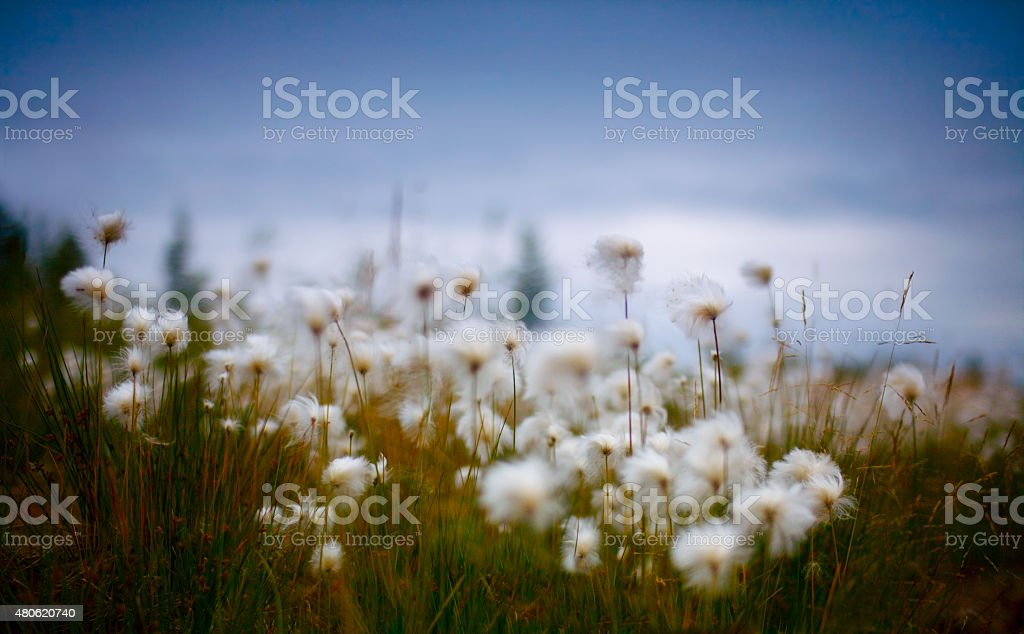 blurred northern wild flowers fluffy dandelions stock photo