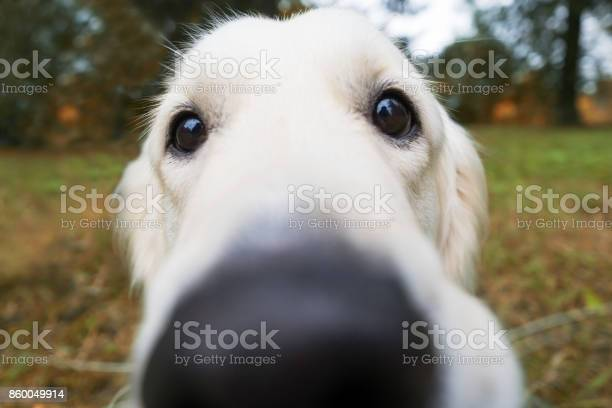 Blurred nose of a golden retriever walking in the fresh air with a picture id860049914?b=1&k=6&m=860049914&s=612x612&h=8zi9ybjhk5ethvst7prn8zojhb70jrda24gmwwyhvpu=