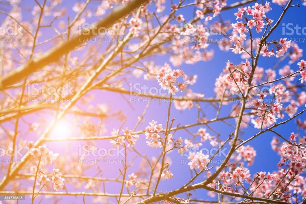 Blurred of Sakura flowers blooming stock photo