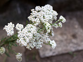 Blurred photo.Closeup of flower achillea millefolium, commonly known as yarrow or common yarrow on rustic weathered wooden boards. Medicinal plant, empty space for your text.