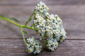 Blurred photo.Closeup of flower achillea millefolium, commonly known as yarrow or common yarrow on rustic weathered wooden boards. Medicinal plant,empty space for your text.
