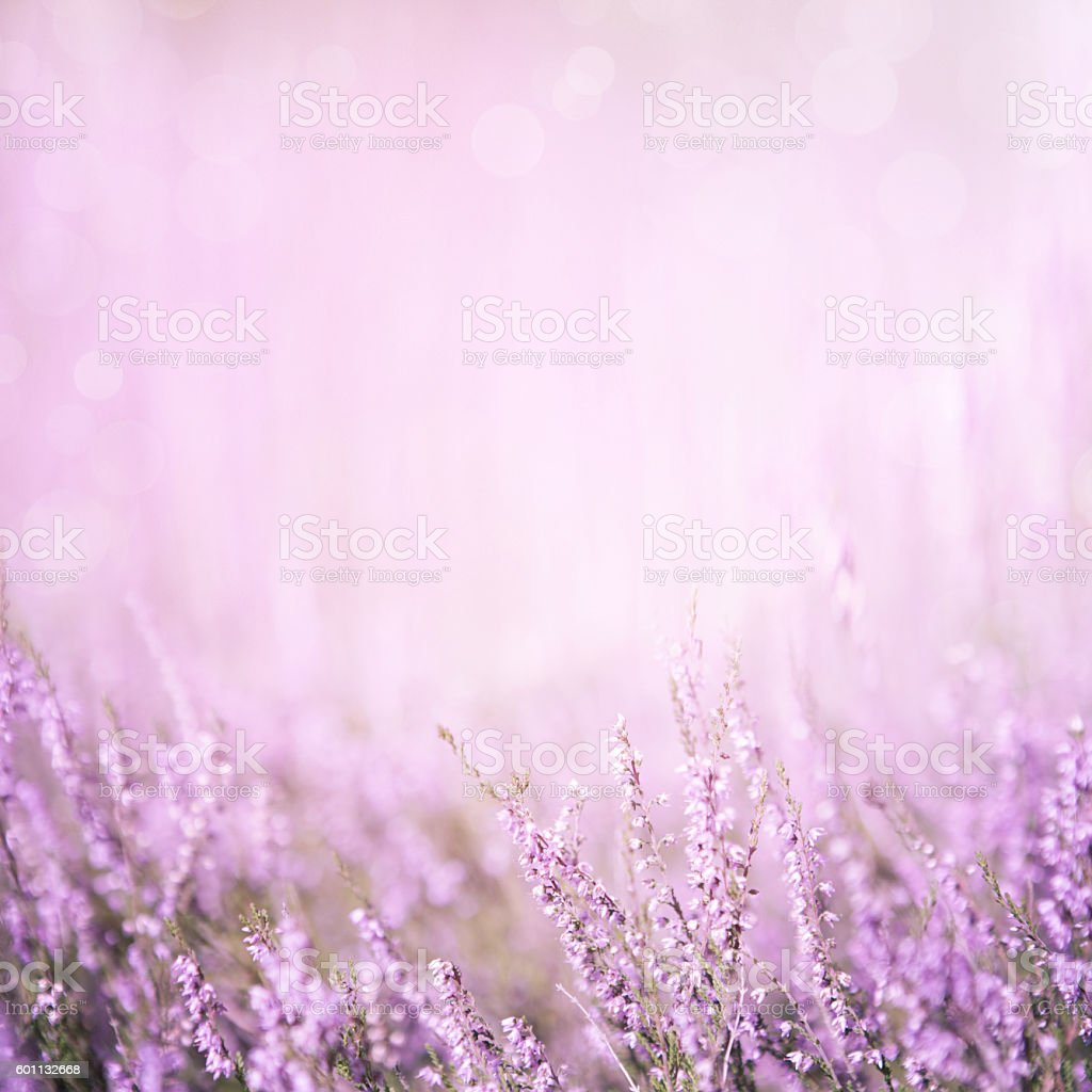 Blurred purple floral background Blurred summer abstract nature background with Heather flowers in the meadow with copy space. Purple floral background Agricultural Field Stock Photo