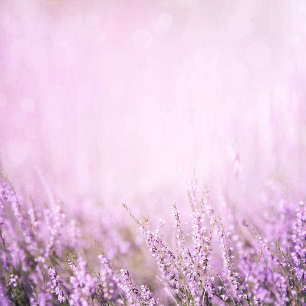 Blurred purple floral background Blurred summer abstract nature background with Heather flowers in the meadow with copy space. Purple floral background heather stock pictures, royalty-free photos & images