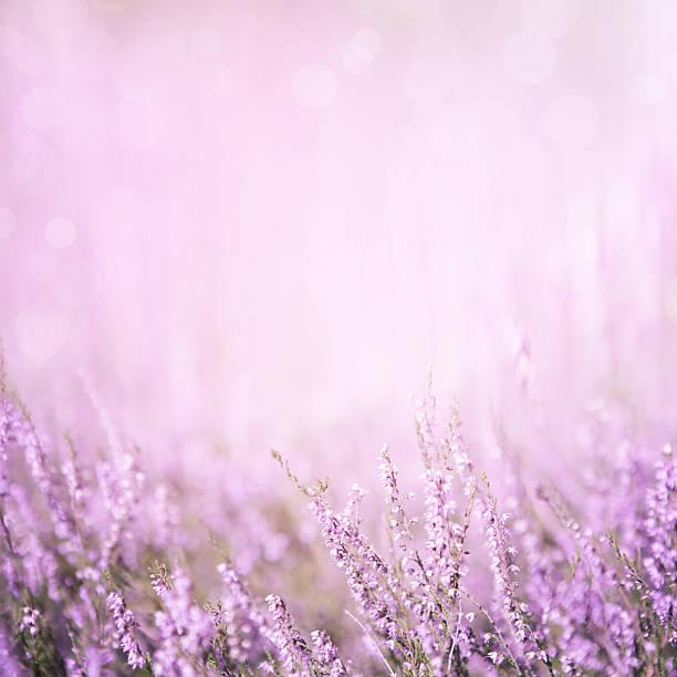 blurred purple floral background - colore lavanda foto e immagini stock