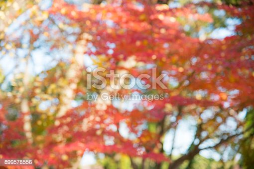 Blurred red leaves background in Japan