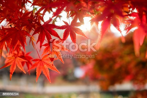 istock Blurred red Maple leaves in corridor garden with sunlight 889956204
