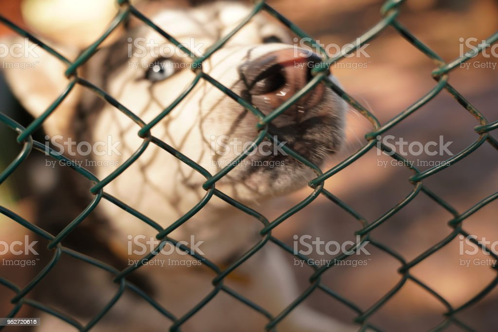 Blurred siberian husky dog looks around desperately behind the fence in a cage stock photo