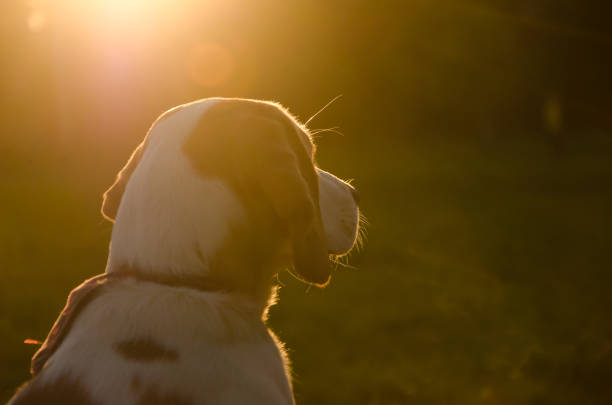 Blurred silhouette of a beagle puppy in the golden rays of sun light picture id991205298?b=1&k=6&m=991205298&s=612x612&w=0&h=1pfs9smqlonixegliorww vj3t4qzi0u7gxbfmlrp1w=