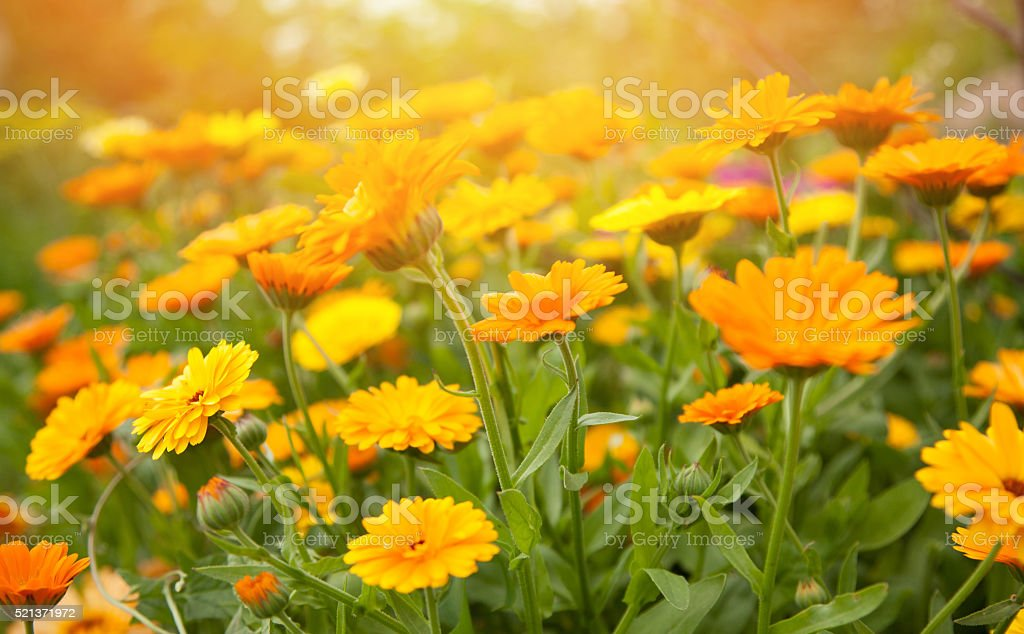 Blurred summer background with flowers calendula stock photo