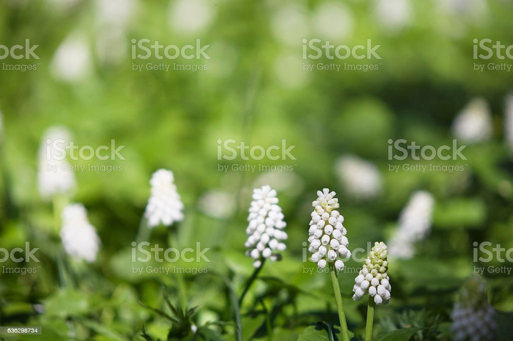 Blurrerd green background with white muscari flowers stock photo