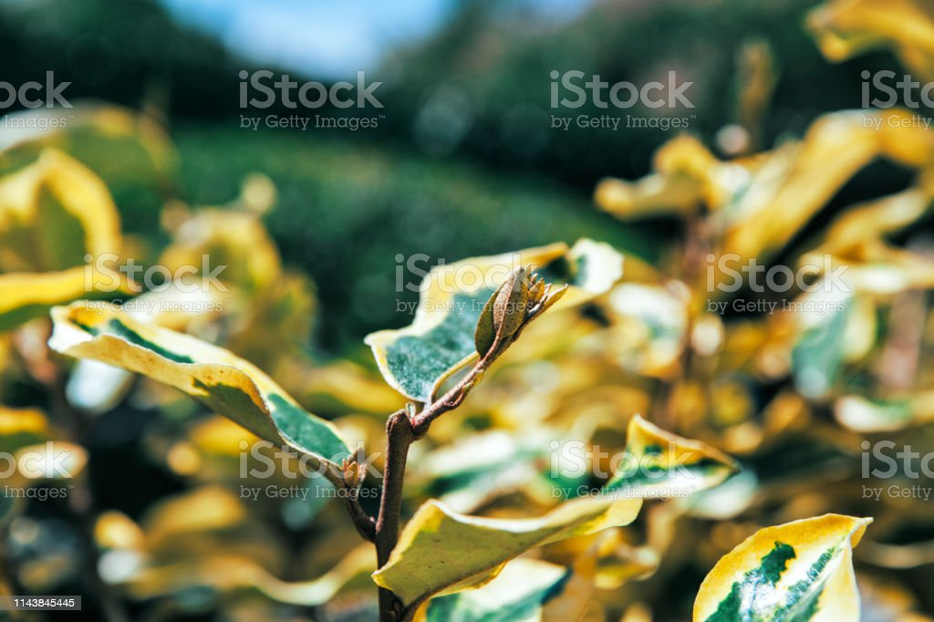 Blurry background of natural leaves, selective focus stock photo