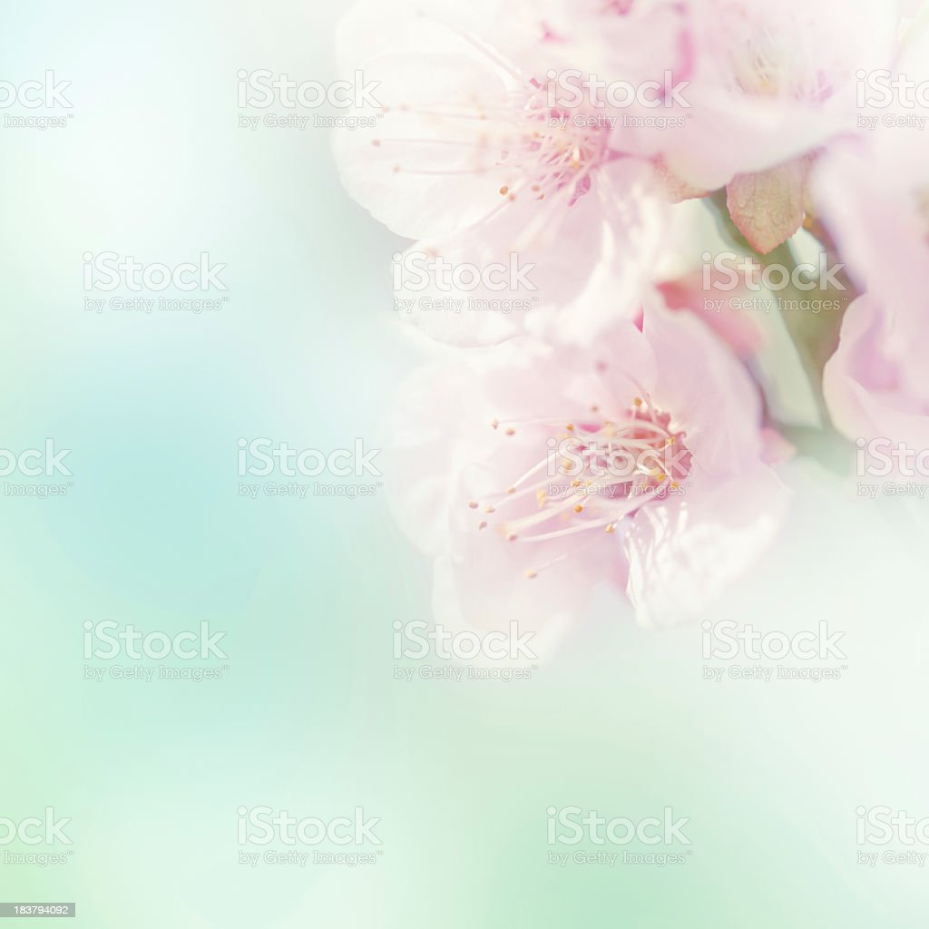 Blurry close-up of a pink sakura flower stock photo