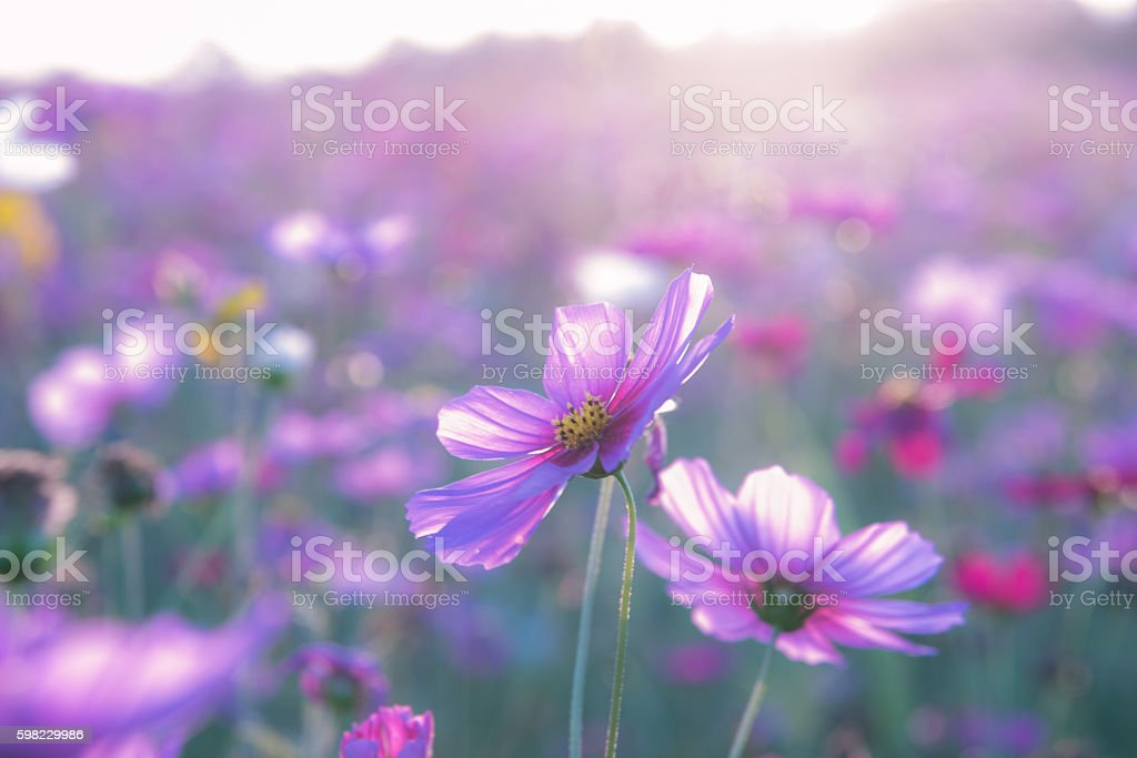 Blurry cosmos flower for background foto royalty-free