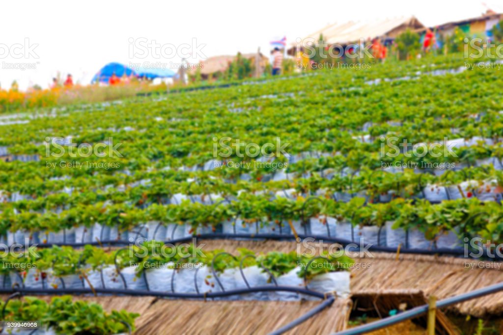 blurry for background usage : strawberry farm arranged in low-to-high-level steps stock photo