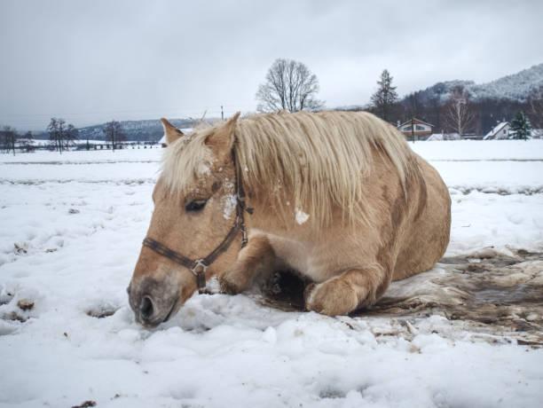 verschwommene bewegung des rollenden pferdes im schnee. - pferdespiele kostenlos spielen stock-fotos und bilder