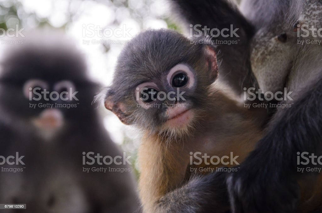 Blurry soft and noise Baby Dusky Langur. suspicious feel stock photo